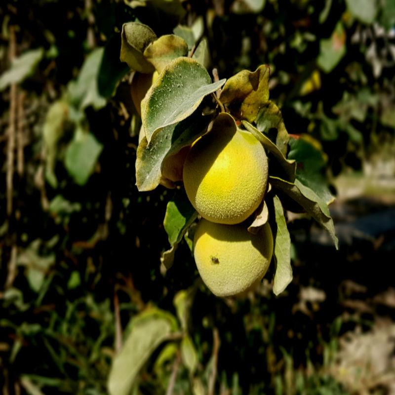 Frutas de Azapa 800x800