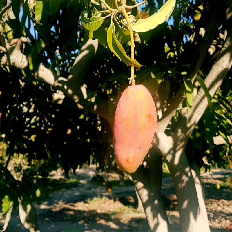 Mango 2 de Azapa 800x800